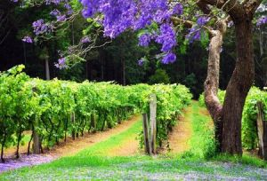 Bago Vineyards - Perisher Accommodation