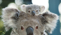 Billabong Koala and Wildlife Park - Perisher Accommodation