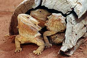 Alice Springs Reptile Centre - Perisher Accommodation
