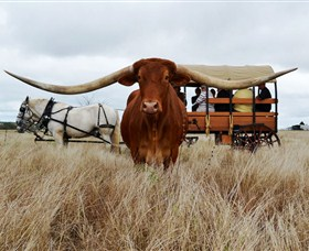 Texas Longhorn Wagon Tours and Safaris - Perisher Accommodation