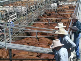 Dalrymple Sales Yards - Cattle Sales - Perisher Accommodation