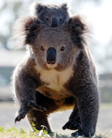 Koalas in Gunnedah - Perisher Accommodation