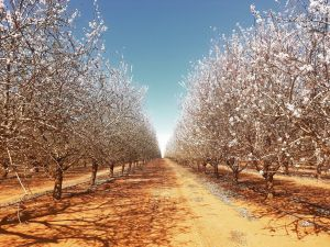 Mallee Almond Blossom Festival - Perisher Accommodation
